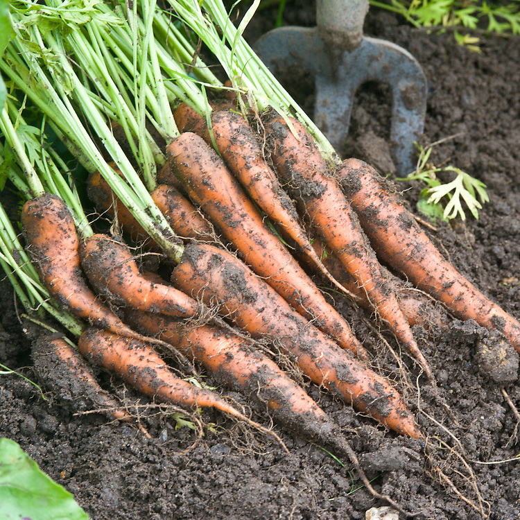 'Volcano' carrots freshly lifted from the ground, early September.