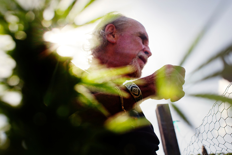"""Laguna Woods, California, October, 26, 2010 -  Lonnie Painter seen through a marijuana plant in his private garden at the community gardens at Laguna Woods Village where he has been a resident for the past eleven years. Painter is also the head of the 100-member marijuana dispensary there named Laguna Woods for Medical Cannabis. """"We do this by the book, to the letter of the law. We are not potheads. We are people with legitimate medical needs."""" said Painter. Despite their best efforts, the group has faced some challenges recently. The board that oversees the community recently banned the growing of marijuana in the community gardens, despite the fact that each person has their own fenced and locked garden and the entire compound is surrounded by a chain-linked fence with barbed-wire. """"It's just an excuse to shut this down by a few misguided people,"""" says Painter. """"We are all volunteers on the board here. We do this to try to help people in need."""" Indeed, many of the purported health benefits of marijuana target problems that typically plague older people, such as chronic shingles, arthritis pain, and symptoms of multiple sclerosis and cancer, such as loss of appetite, chronic pain and nausea. California's Compassionate Use Act, passed in 1996, allows people with a prescription to use and cultivate medicinal marijuana. ."""