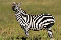 Burchell's Zebra or Plains Zebra (Equus burchelli), Africa.  Lip-curling or smaelling