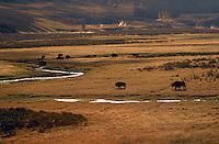 Bison herd at sunrise, Hayden Valley, Yellowstone National Park, Wyoming