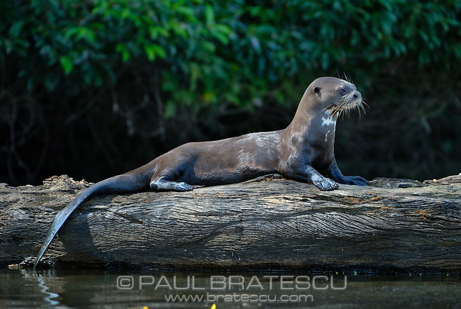 Giant River Otter (Pteronura brasiliensis) Mustelidae, weasel, River Wolf, Lobo de Río, Water Dog