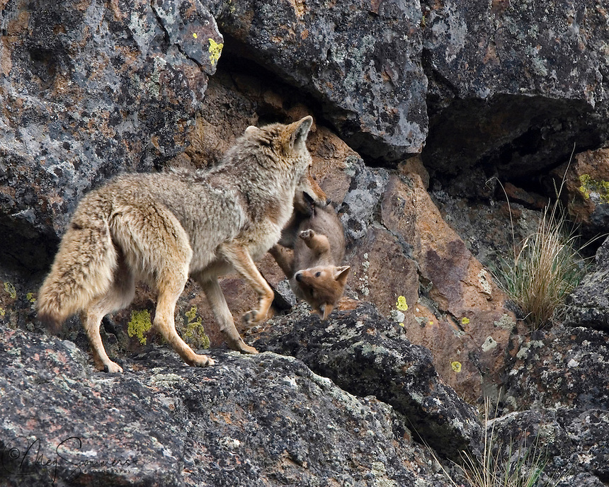 "Coyotes (Canis latrans) move their pups from one den to another fairly frequently. Dens become soiled or unsuitable for a number of reasons. This Yellowstone mom had nine pups and a big job! None of the pups were particularly cooperative and she simply grabbed them as she could. Once caught, they all just ""went limp"" and went along for the ride. Gibbon Canyon, Yellowstone."