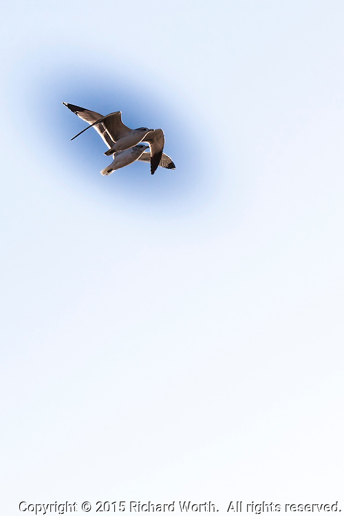 Two gulls, flying, upper left, against a vertical background with ample room for text / copy.
