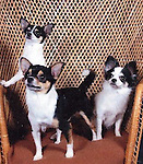 Chihuahua Harry dob 11-06 front Shineshine dob sept 08 on left Baby dob March 07 on right 4 hours from Mpls.