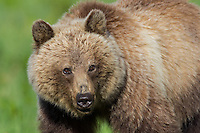 Grizzly Bear (Ursus arctos).  Banff National Park, Alberta Canada.  June.