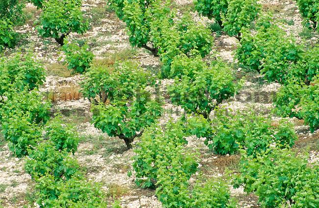 Paphos, Pafos, near Panagia, Vine-Yard, Cyprus, Zypern