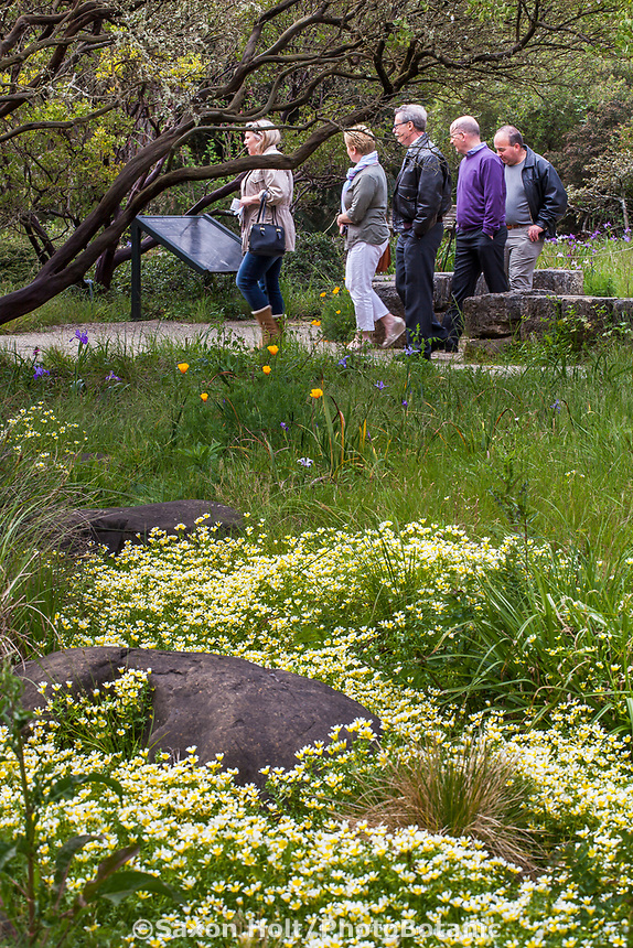 Visitors in Menzies Garden of California native plants; with Limnanthes douglasii - Douglas' meadowfoam wildflowers in San Francisco Botanical Garden
