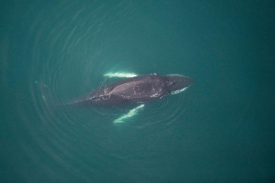 Humpback whale (Megaptera novaeangliae), Skjalfandi Bay, northern Iceland - aerial