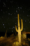 Saguaro cactus at dusk painted by flash light, Orion setting star tracks, Ajo Range, Organ Pipe Cactus National Monument, Arizona.