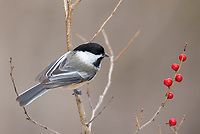 black-capped chickadee, Poecile atricapillus perched on branch with berries, Nova Scotia, Canada