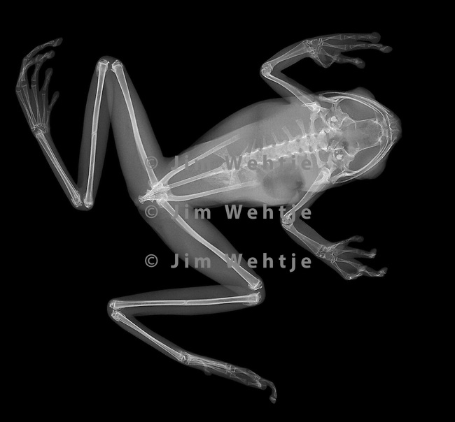X-ray image of a tree frog sitting (white on black) by Jim Wehtje, specialist in x-ray art and design images.