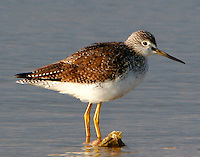 Adult lesser yellowlegs in non-breeding plumage