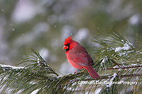 01530-23006 Northern Cardinal (Cardinalis cardinalis) male in pine tree in winter snow Marion Co. IL
