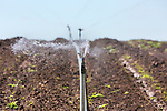 Reciprocating sprinkler irrigates vegetable field in western Oregon.