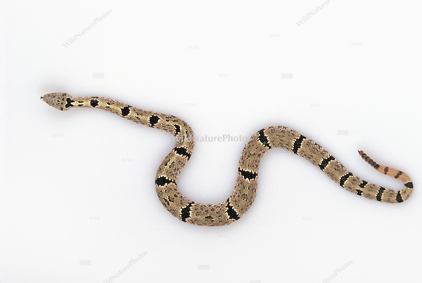 Banded Rock Rattlesnake (AZ), Crotalus lepidus klauberi, studio portrait, ideal for cutout