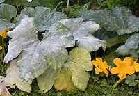 Powdery Mildew; Sphaerotheca fuliginea;  on Pumpkin leaf; Cucurbita pepo; White Mycelium cover leaf and lower productivity; spores spread by the wind.