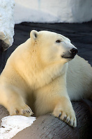 The polar bear, Ursus maritimus, is the largest land carnivore and has the unique reputation as the only animal that actively hunts humans.  Polar bears are found throughout the circumpolar Arctic and south into Canada.  ,