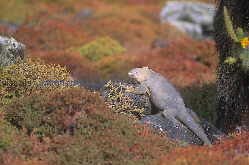 Barrington Island Iguana (Conolophus pallidus), Galapagos Islands, Ecuador.