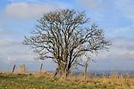 Leafless deciduous tree bush high on chalk downland, Wiltshire, England, UK