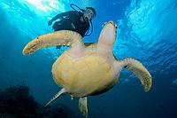 Woman swims with Green Sea turtle, Chelonia mydas, Mabul, Maylasia