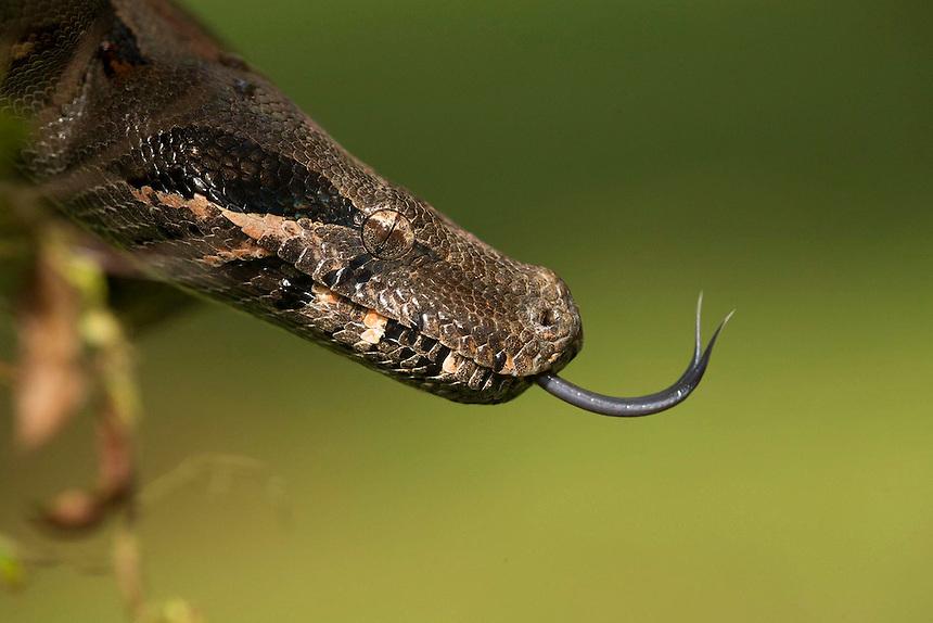 Boa constrictor, Boa constrictor, Costa Rica