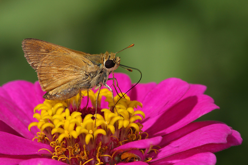 Texas Grass Skipper in June, perched on zinnia.