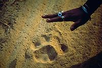 Adult female Indian tiger Panthera tigris tigris pugmark, Kanha NP, Madya Pradesh, India