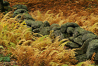 Ferns, autumn, Princeton, MA
