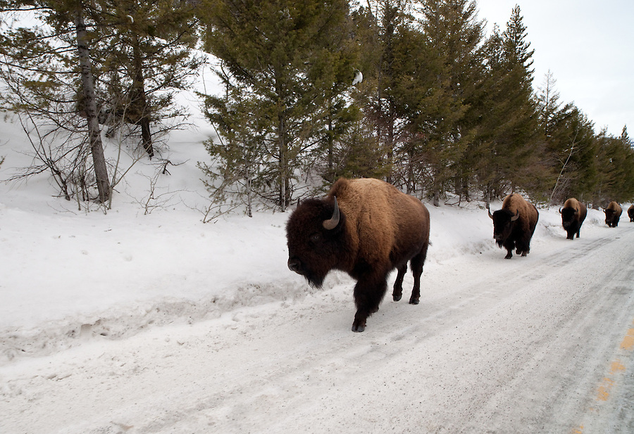 Buffalo often use the roadways in Yellowstone National Park for travel in winter.