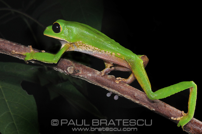 Black-eyed Alien Monkey Tree Frog (Phyllomedusa gamba)