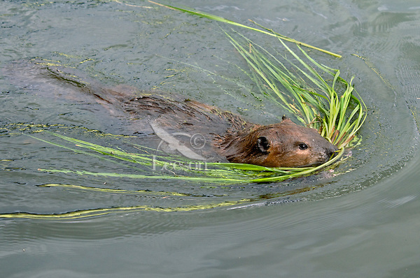 North American Beaver (Castor canadensis) collecting pond reeds.  Western U.S., June.