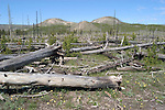 WY: Wyoming; Yellowstone National Park:.In Midway Geyser Basin..Firescape of lodgepole pines from fire of 1988..Photo #: yellow1408.Photo copyright Lee Foster, 510/549-2202, lee@fostertravel.com, www.fostertravel.com..