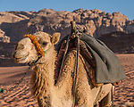 A dromedary or Arabian camel, Camelus dromedarius, in the Wadi Rum Protected Area, a UNESCO World Heritage Site.