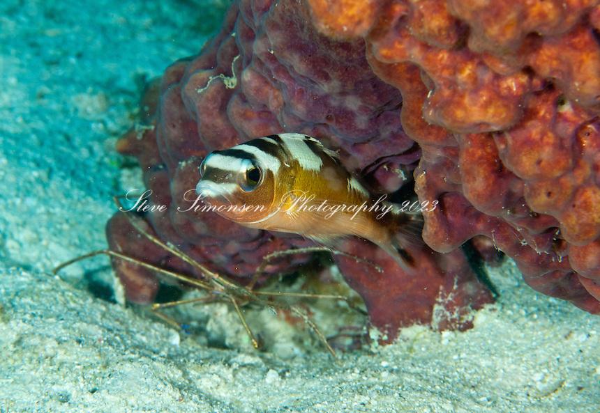 Tobaccofish and arrow crab