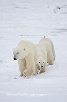 01874-11610 Polar Bears (Ursus maritimus) female and 2 cubs, Churchill Wildlife Management Area,  MB