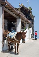 ITA, Italien, Sizilien, Liparischen Inseln, Insel Alicudi: Maultiere | ITA, Italy, Sicily, Aeolian Islands or Lipari Islands, island Alicudi: mules