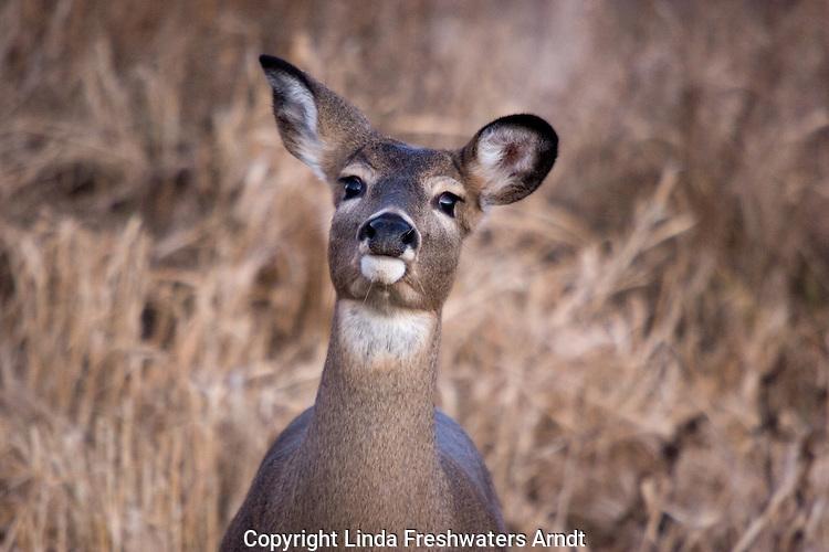 White-tailed deer (Odocoileus virginianus) coming to investigate