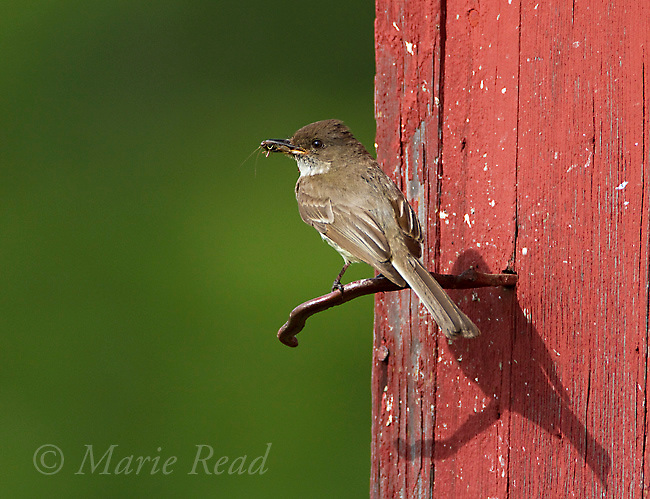 Eastern Phoebe (Sayornis phoebe) with food (grasshopper) in its bill, New York, USA