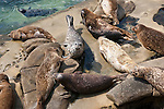 Harbor seals lay together below the seawall on the Children's Pool beach on the coast of La Jolla, California.