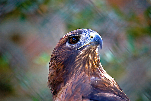RED-TAILED HAWK AT LOS ANGELES ZOO
