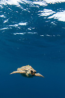 loggerhead sea turtle, Caretta caretta, Azores, Northern Atlantic Ocean,