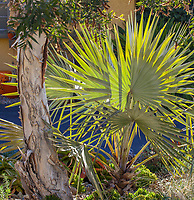 Bismarckia nobilis, Bismarck Palm tree with fan leaves in Patrick Anderson Garden
