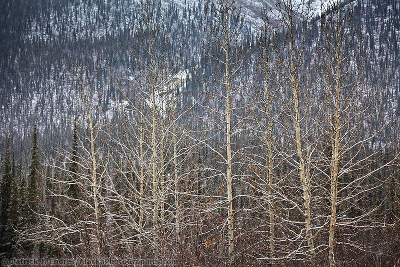 Fresh snow on cottonwood trees, Brooks Range, Arctic, Alaska.