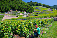 Worker trimming Chablais vines at wine estate, Clos du Rocher, at Yvorne in the Chablais region of Switzerland