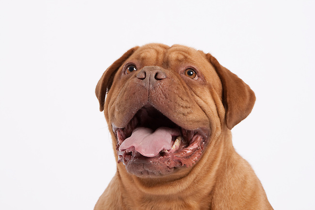 Wrinkly Dogue de Bordeaux dog with mouth open head shot on white background