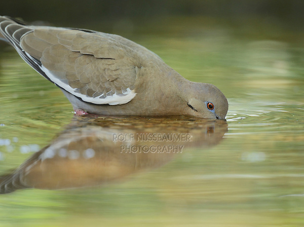 White-winged Dove (Zenaida asiatica), adult drinking, Hill Country, Texas, USA