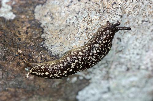 Kerry Slug - Geomalacus maculatus