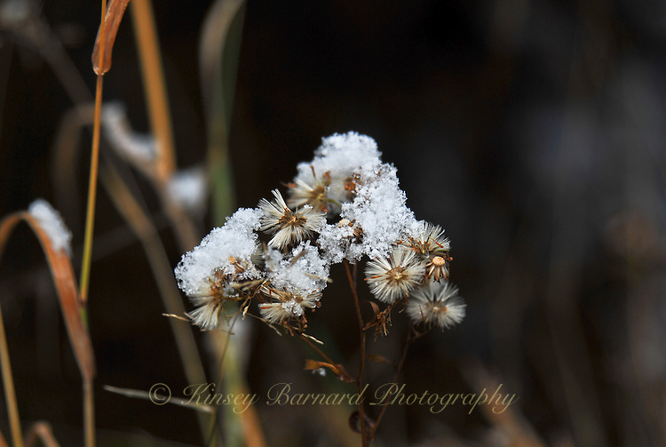 Snow-capped wildflowers gone to seed.