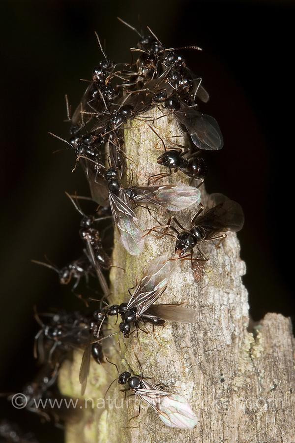 Glänzendschwarze Holzameise, Schwarze Holzameise, Holz-Ameise, Ameise, Kartonnestameise, geflügelte Tiere, Lasius fuliginosus, jet ant, shining jet black ant