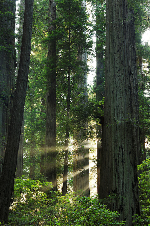 Sunbeams through redwood forest, Del Norte Coast Redwoods State Park, Del Norte County, California